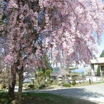 当館お庭の枝垂れ桜です☆彡
