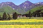 旭原 菜の花