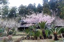別邸COCORO 桜の時期