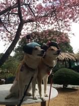 河津桜とちょんまげわんこ