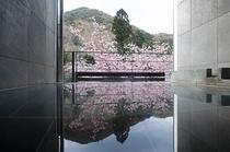 ココロお風呂からの河津桜