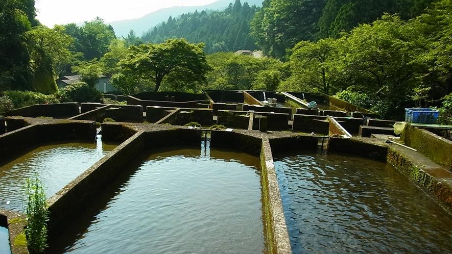 *【敷地内の様子】広大な敷地にあめごの養殖池が並んでいます。