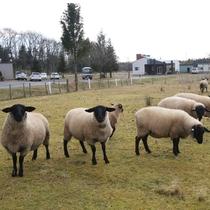 *【施設】当館では、裏の庭にてサフォーク(羊)を育てています。