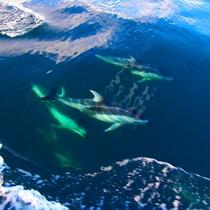【知床で出会える動物たち】イルカ