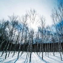 【冬の白樺】ほっそりまっすぐ伸びている白樺。白樺の間を進みながら動物の足跡散策♪