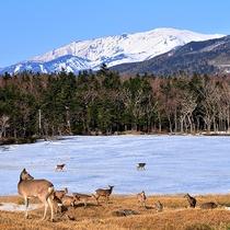 【雪の知床五湖と知床岳】運が良ければ小鹿の姿も♪その可愛らしい姿に心奪われます☆