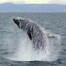 【知床で出会える動物たち】ザトウクジラ