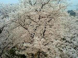 開山には、約1000本の桜が咲き乱れています!うっとり・・・♪♪