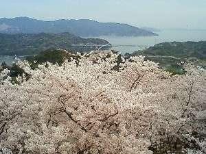 昨年の開山です★海の青に、桜のピンク色が映えます♪