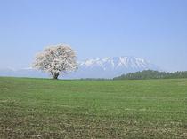 小岩井農場、一本桜