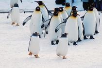 ペンギンのお散歩1
