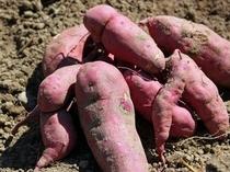 【無農薬野菜】ペンションの畑で育てた鳴門金時