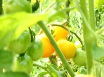 ペンションの無農薬畑で作ったミニトマトです。