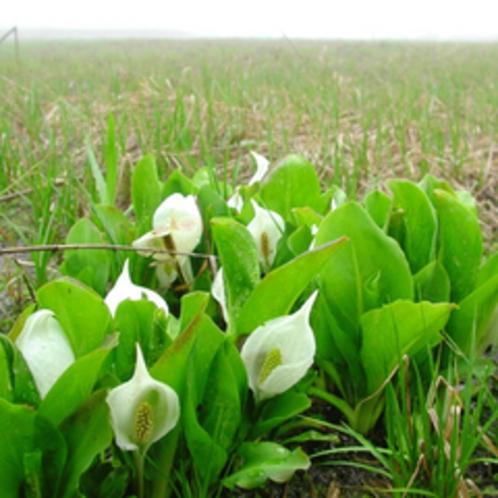 *【周辺】春になるとミズバショウが一気に咲き誇ります。