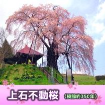 上石不動桜(樹齢約350年)当ホテルより車で約40分
