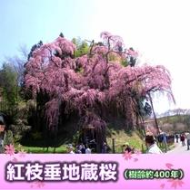 紅枝垂地蔵桜(樹齢約400年)当ホテルより車で約40分