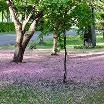 桜の花の絨毯
