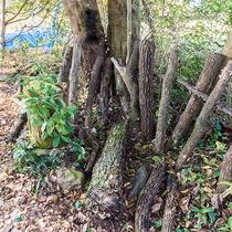 *【きのこ原木】当館の庭では、椎茸の他、クリタケやナメコも栽培しています。