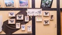 *【蝶標本コーナー】水上村には珍しい蝶が多数生息しております。