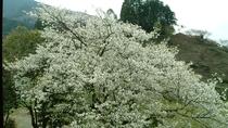 *【オオシマザクラ】白い花が特徴です