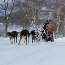 本州唯一の本格的な犬ぞり体験!犬たちと一緒に白銀の世界を駆け抜けよう!