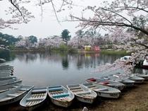 金木桜まつり 湖上から