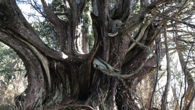 【巨木をめぐる旅〜木島平の千年ネズコ】