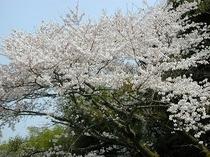 中庭の桜の木