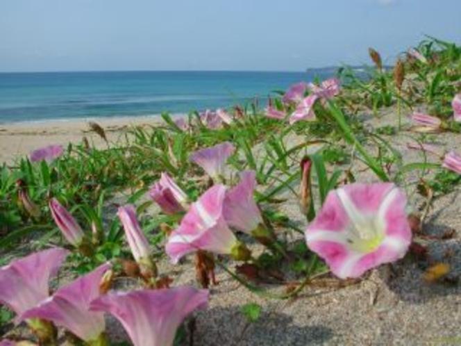 浜昼顔の咲くビーチ