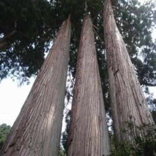 中和神社の杉