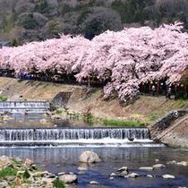 *【宮城野早川堤】早川沿いの堤約600mにわたり、約120本のソメイヨシノの桜並木となっています。