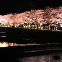 *【宮城野早川堤】桜の開花に合わせて、ライトアップも行なわれ、夜桜の名所としても親しまれています。