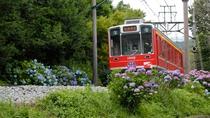 【あじさい電車】箱根登山鉄道沿線のあじさいは、6月中旬頃から開花の時期を迎えます。