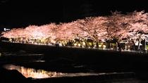 【宮城野早川堤】桜の開花に合わせて、ライトアップも行なわれ、夜桜の名所としても親しまれています。