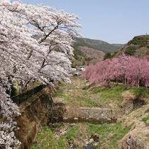 *宮城野早川堤の桜の様子 川のせせらぎと共に楽しめる箱根屈指の桜の名所