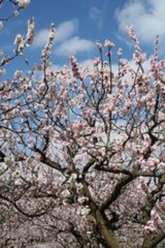 森の杏の花