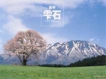 岩手山の残雪に映える小岩井の一本桜