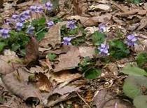 春一番のスミレ咲く