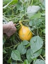 ■フルーツかぼちゃ(女将が無農薬で栽培!)