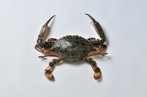 渡り蟹(メス)