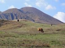 大草原での放牧