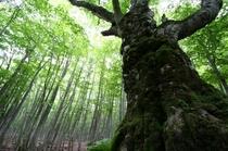 安比ブナの森