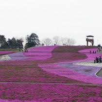 市貝芝桜公園(4月下旬〜5月上旬)車で45分