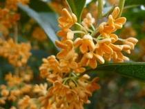 秋限定!金木犀の可愛い花。いい香りが辺り一面漂います