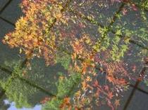 秋限定」晴れた日の朝。お風呂に映しだした 湯紅葉