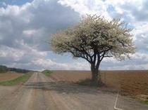 夏・梨の樹