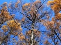 秋のカラマツ林