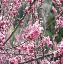 【春】満開のはなもも