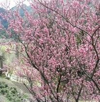 【春】小坂町 赤沼田はなもも街道
