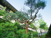 【館内】中庭に植えられた一本松。松や竹など、日本古来の木々を配した中庭からは和の情緒が漂います。